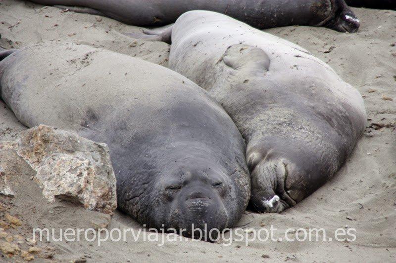 Pareja de Leones marinos descansando en Piedras Blancas