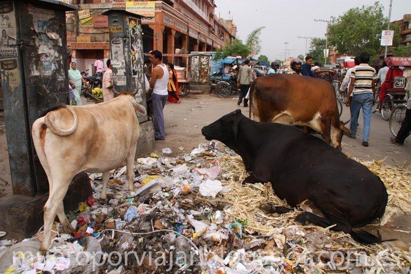 Vacas descansando en la calle de Delhi