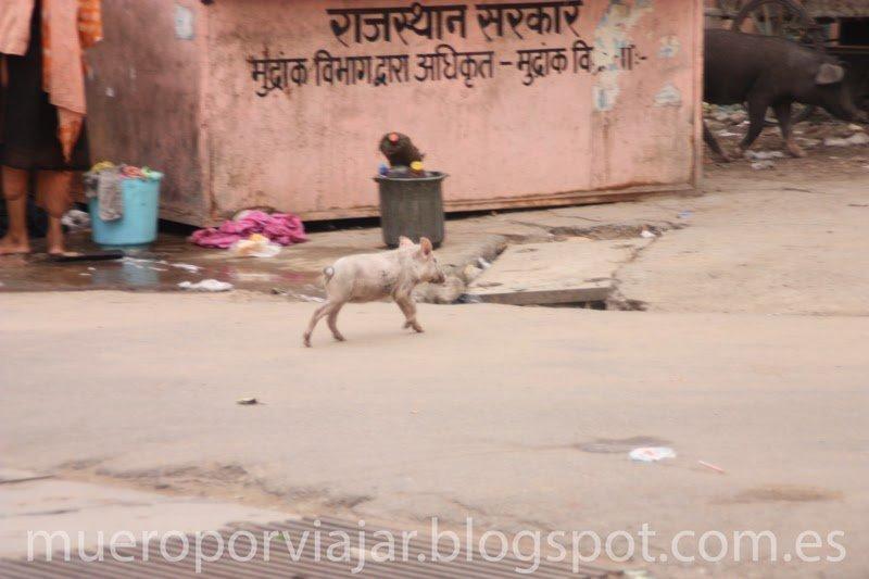 Cerdito callejeando por Delhi