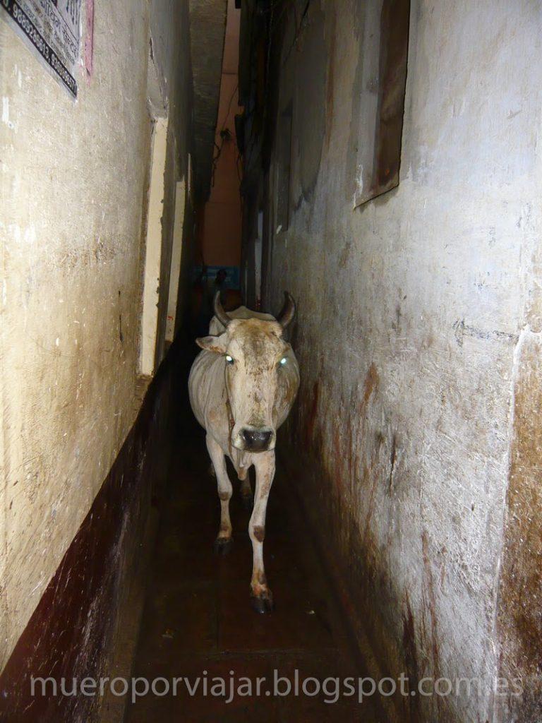 Vaca sagrada pasando a sus anchas por el callejón de Delhi