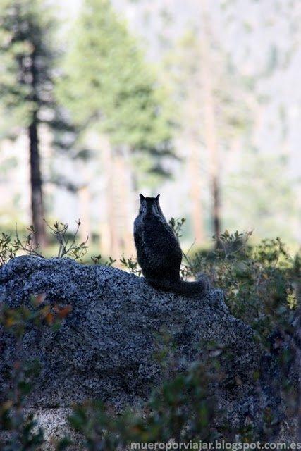 Al pasear por Yosemite, puedes encontrar muchos animales como esta bonita ardilla