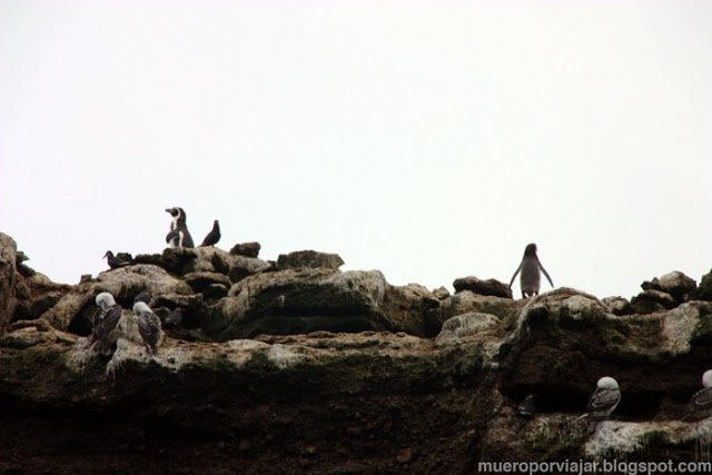 En las Islas Ballesta podemos encontrar pingüinos