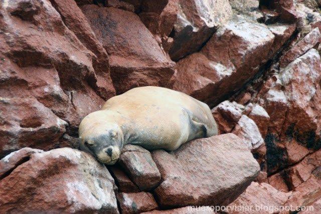 Una cría de leon marino descansando en una roca de las Islas Ballestas