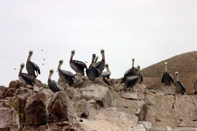 Una familia de pelicanos reposando en las rocas de las Islas Ballesta