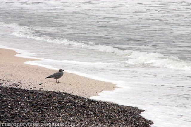 Un ave en la orilla de la playa Yamaque en la reserva nacional de Paracas