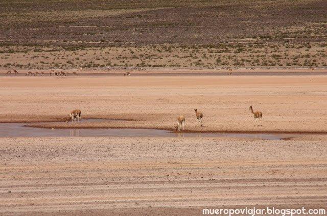 Vicuñas paseando por la zona de un riachuelo