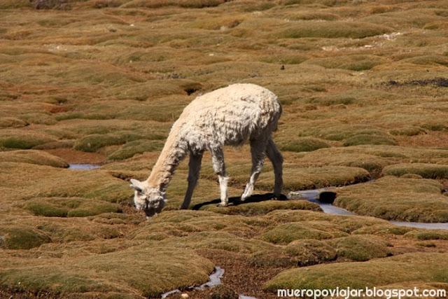 Una vicuña joven
