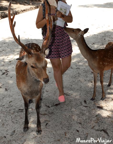 En Nara puedes pasear y dar de comer a ciervos ya que están libres por todo el pueblo
