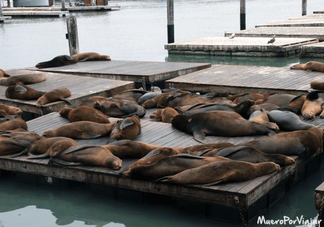 Otro atractivo turístico son los leones marinos que viven en Fisherman´s Wharf