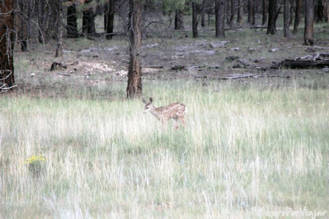 Pequeño ciervo que nos encontramos en el trayecto entre Bryce Canyon y el hotel