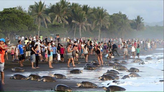 Turistas impidiendo el normal funcionamiento del desove de las tortugas en Costa Rica