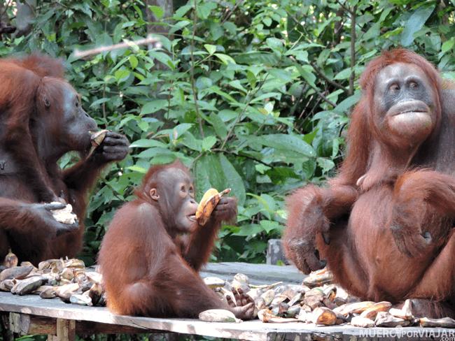 Las famílias de orangutanes se reúnen para comer