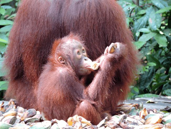 Los orangutanes pequeños siempre van acompañados de su madre