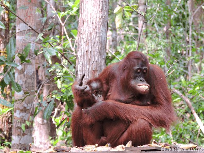 El plato fuerte del viaje a Borneo, poder ver Orangutanes en libertad