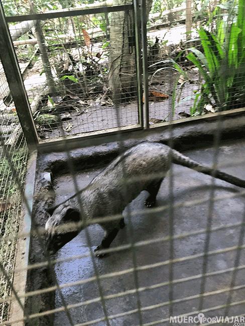 Civeta en una jaula