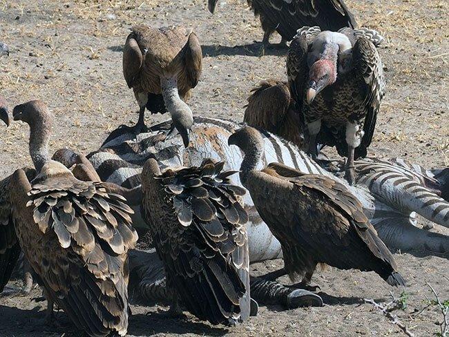 Buitres devorando los restos de una cebra en el parque del Serengeti