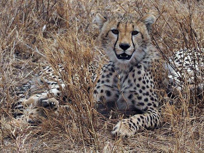 Nuestra familia de guepardos