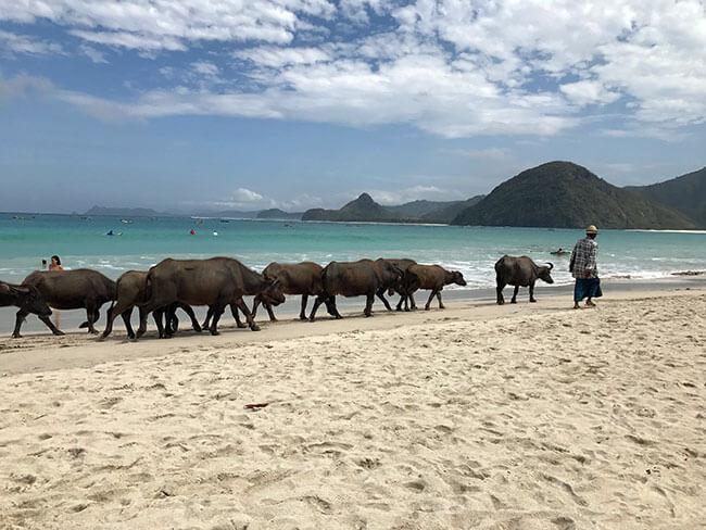 Vacas en la playa de Selong Blanak en Lombok