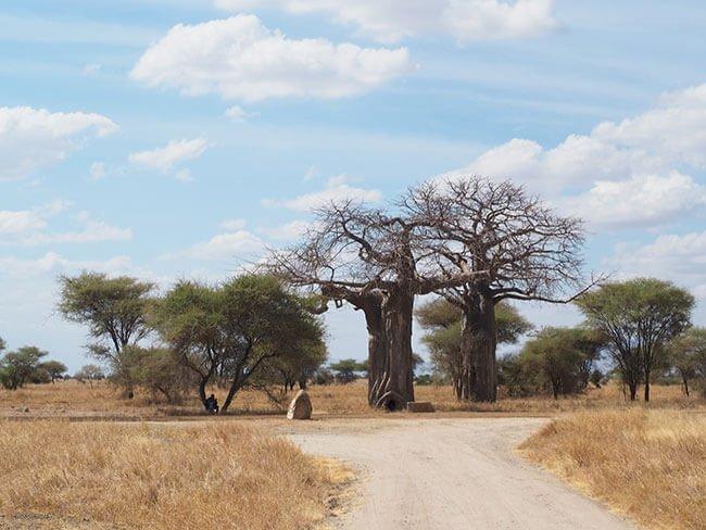 Baobabs en el camino