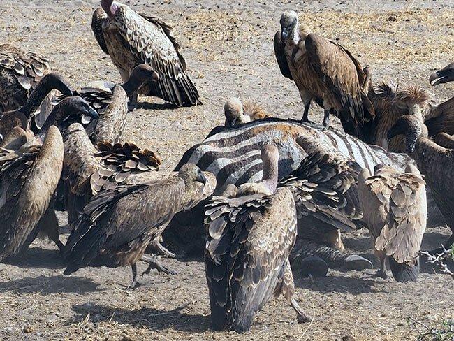 Buitres comiéndose una cebra