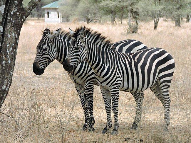 Cebras en Tarangire- Tanzania