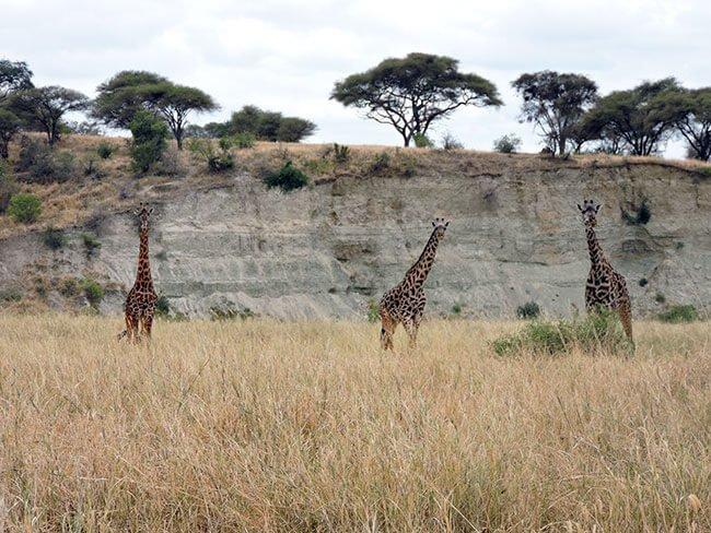 Las jirafas mi animal favorito