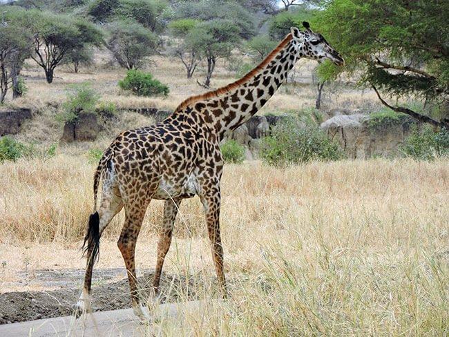 Jirafa en Tanzania