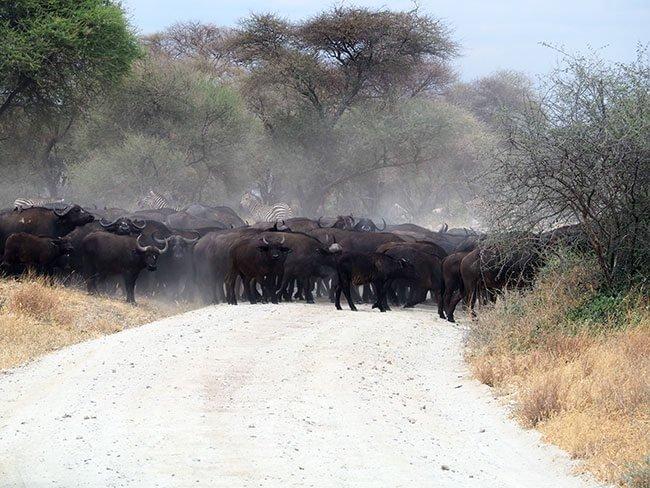 Búfalos cruzando el camino