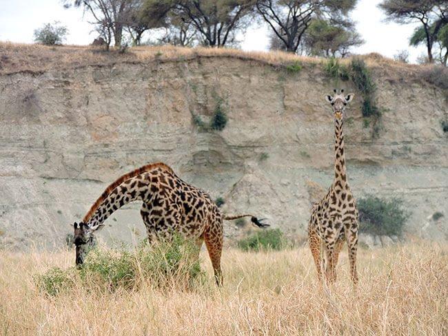 Jirafas en Tarangire- Tanzania