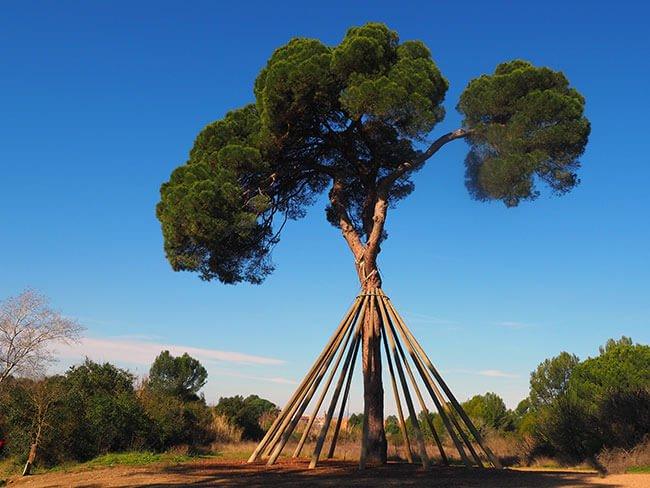 El Pi d'en Xandri en Sant Cugat del Vallés